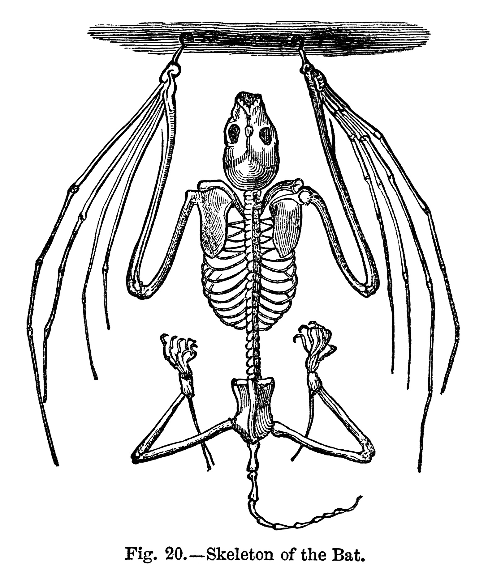Bat Skeleton ~ Free Vintage Clip Art | Old Design Shop Blog