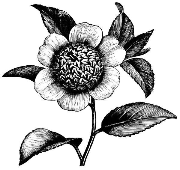 camellia flower free vintage