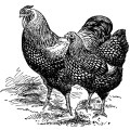 silver laced wyandottes, black and white clip art, farm animal image, vintage chicken clipart, vintage rooster illustration