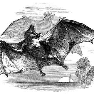 Vampire Bat ~ Free Vintage Clip Art