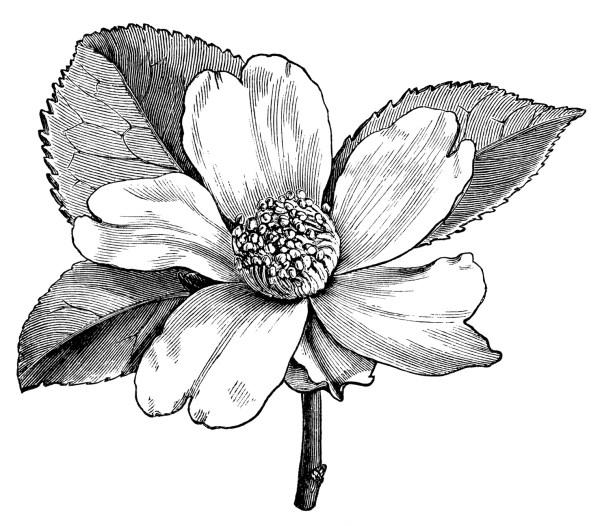 camellia oleifera flower free