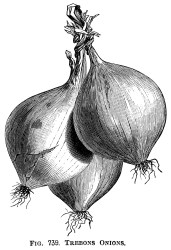 clip vegetable illustration onions clipart graphics drawings printable onion drawing prints olddesignshop garden vegetables illustrations sketch graphic botanical engraving gravure