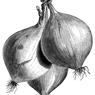 Trebons Onions Clip Art