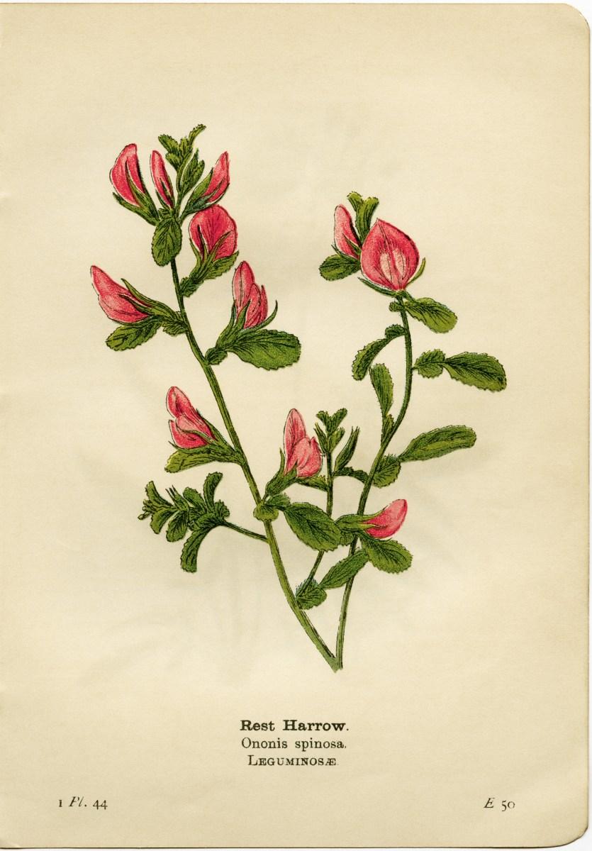 free printable vintage pink flower clip art old design
