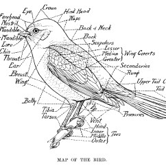 Clipping Duck Wings Diagram 2000 Club Car Wiring Map Of The Bird Old Design Shop Blog