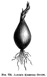 clip clipart onion onions garden illustration vegetable graphics vegetables printable botanical varieties three root drawings olddesignshop james prints keeping naples