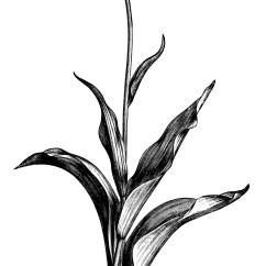 Plant Diagram Clip Art 2001 Ez Go Gas Golf Cart Wiring Tulips Free Vintage Old Design Shop Blog