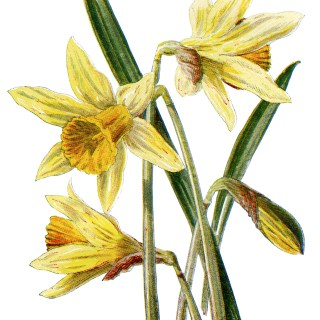 Free Vintage Daffodil Illustration