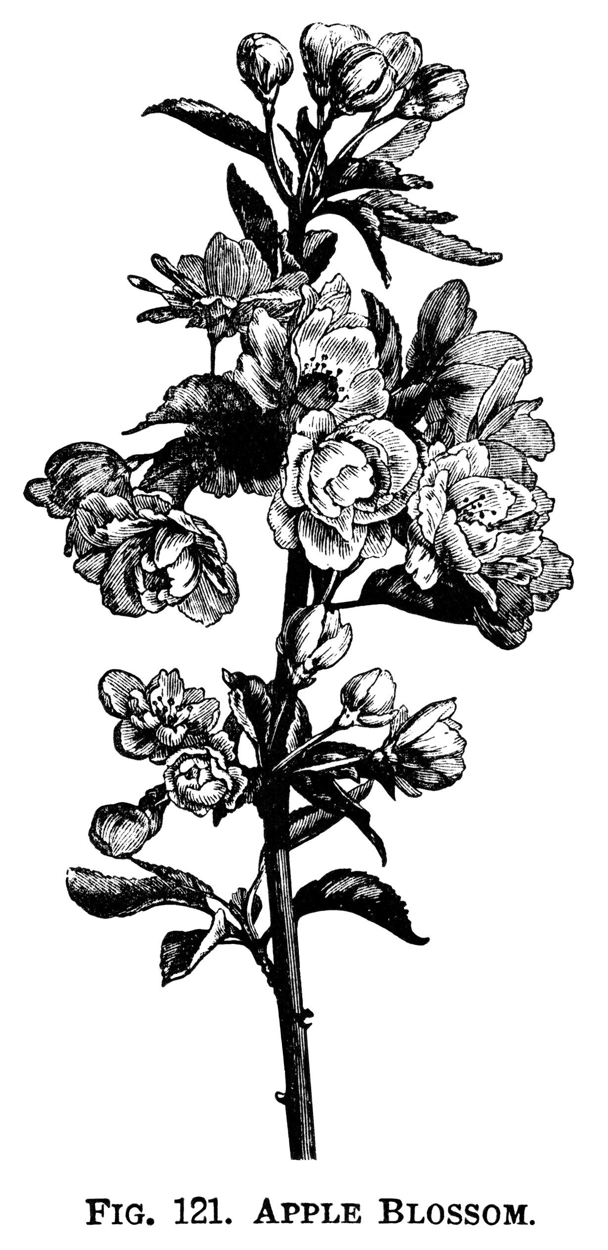 Apple Blossom Free Botanical Clip Art