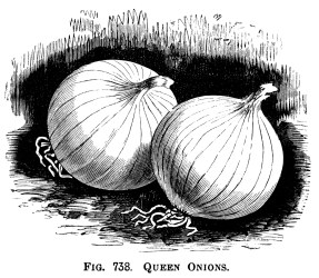 clip onions onion clipart vegetable printable graphics illustration garden drawing queen botanical olddesignshop graphic vegetables giant varieties gardening illustrations rocca