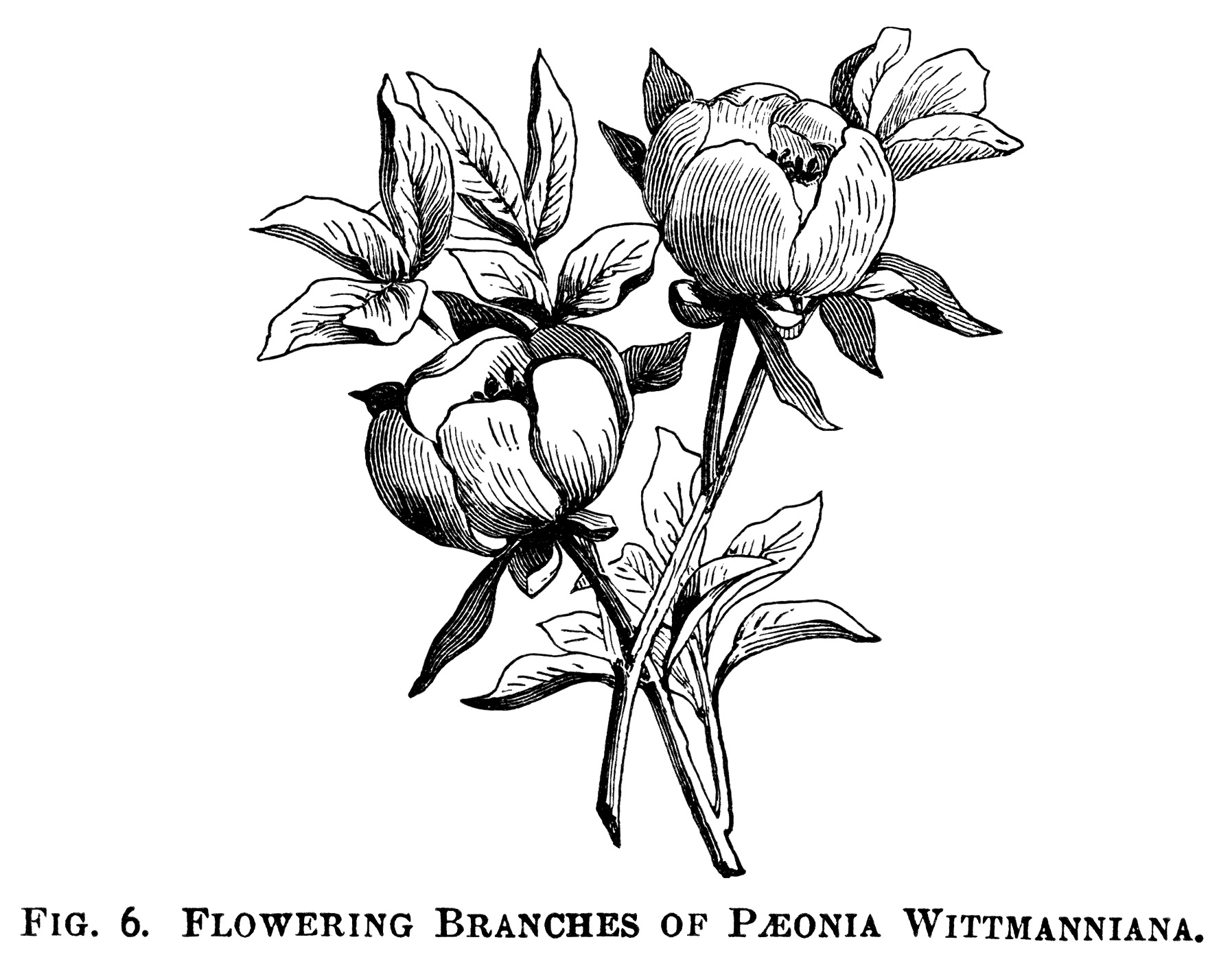 Peony Clip Art Free Vintage Illustrations