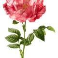 pink rose clip art, York Lancaster rose, vintage flower illustration, variegated pink flower, rose graphic, Frederick Edward Hulme