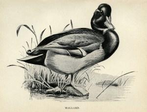 duck clip art, mallard illustration, black and white graphics, printable bird illustration, Louis Agassiz Fuertes
