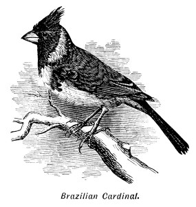 Brazilian Cardinal, bird on branch, black and white graphics, vintage bird clip art, digital bird illustration