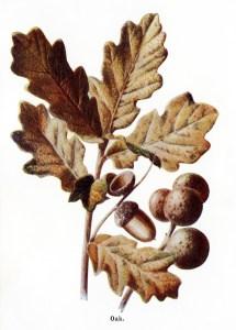 oak tree clip art, fall colored leaves, oak leaves acorns, botanical graphics, vintage nature clip art