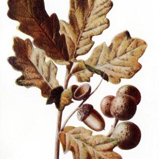 Fall Colored Oak Leaves and Acorns