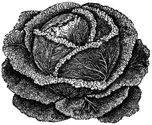 cabbage clip clipart garden illustration vegetable supplies farm graphics olddesignshop