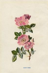 rose clip art, sweet briar, vintage flower illustration, wild rose image, Frederick Edward Hulme