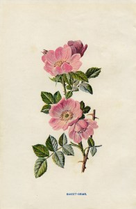 rose clip art, sweet briar, vintage flower illustration, wild rose image, Frederick Edward Hulme