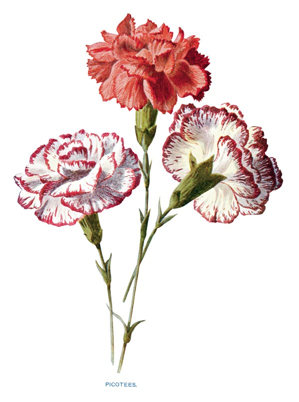 Free Vintage Carnation Flowers Clip Art - Design