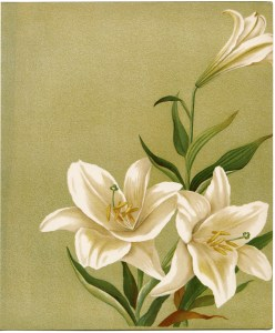 free vintage printable white lilies illustration