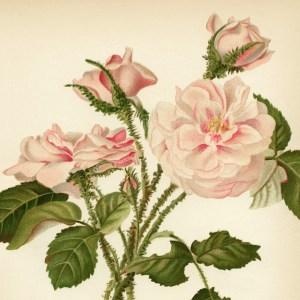 free vintage printable art moss rose flower illustration