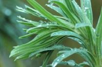 Euphorbia with rain