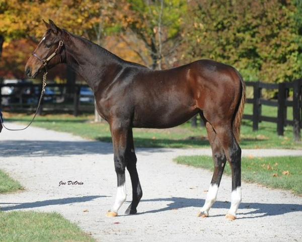 Hip 123, Va-bred colt by First Dude, out of Placerita by Gilded Time bred by Glenn and Rozanne Eicoff sells today at the Fasig-Tipton November Sale.  (Joe DiOrio/VTA)