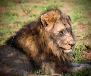 Male lion sitting under a tree.