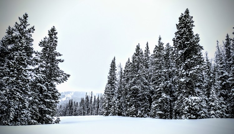 Pine trees and snow on a foreboding day.