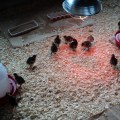 Some turkeys and in june 15 baby turkeys poults arrived