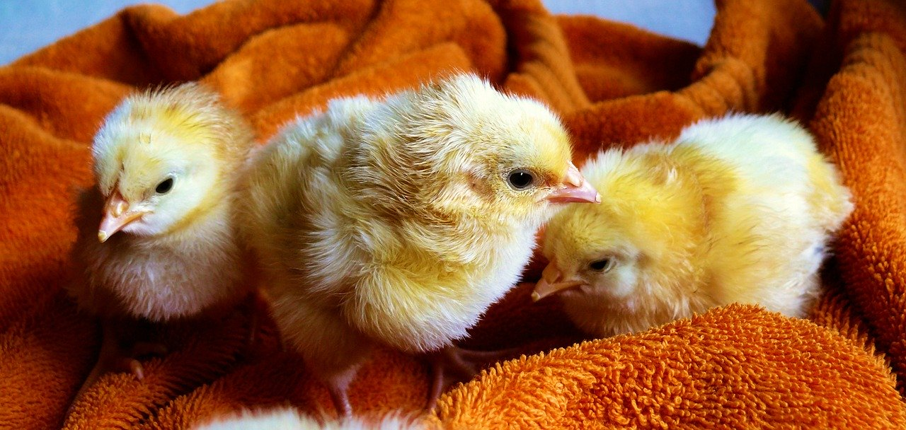 Three Baby Chickens