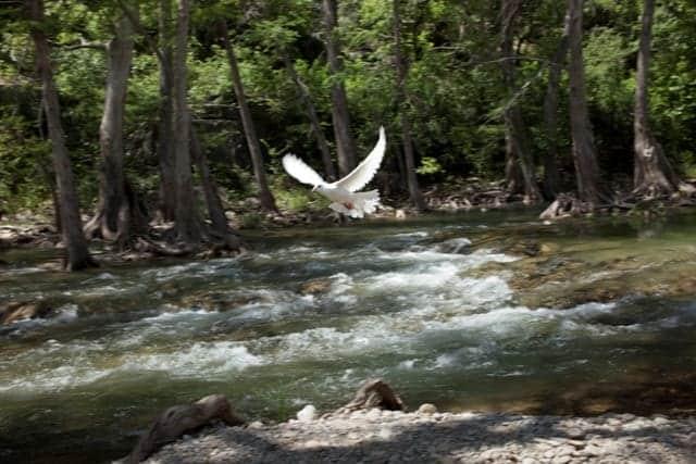 Blanco-River-Dove-Release