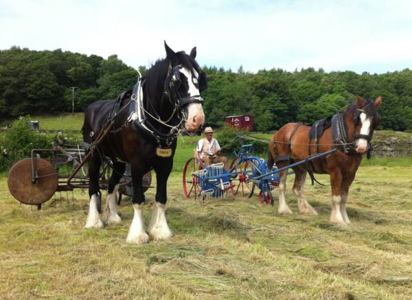 Shire horses in field at hay time