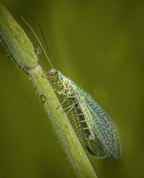 Eddie Leach_Green Lacewing
