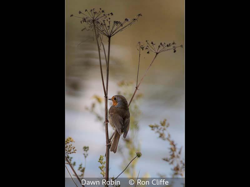 Ron Cliffe_Dawn Robin