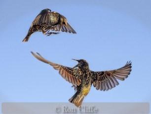 Angry Starlings