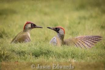 Battling Green Woodpeckers
