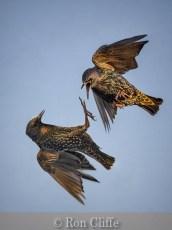 Battling Starlings