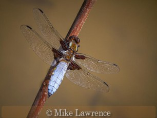 Broad Bodied Chaser-