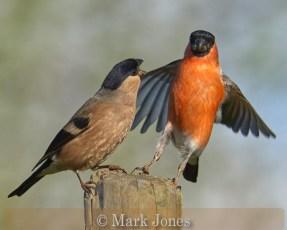Bullfinch Pair