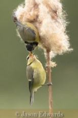 Commended_Jason Edwards_A blue tit feeding its young.