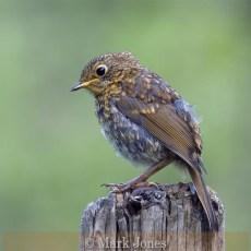 Highly Commended_Mark Jones_Juvenile Robin