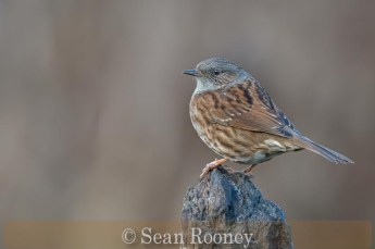 Highly Commended_Sean Rooney_Dunnock