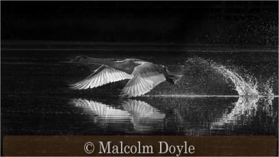 Mute Swan Take-off