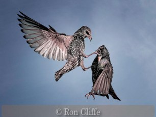 Very Highly Commended_Ron Cliffe_Starling Battle