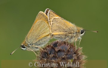 paired small skippers