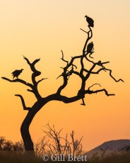 Vultures at Sunrise