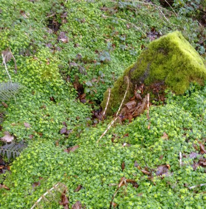 golden-saxifrage-wales-coast-path