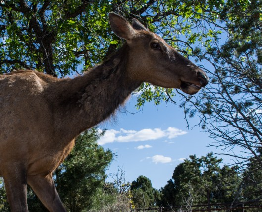 Grand Canyon South Rim Elk